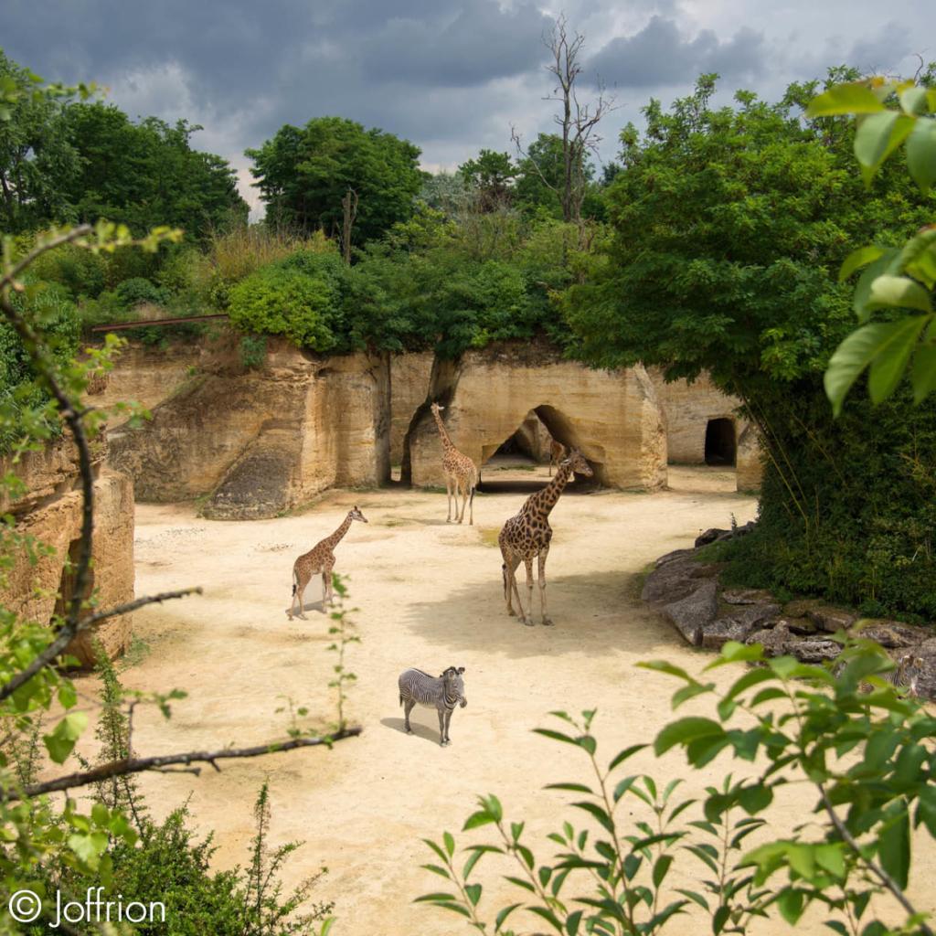 bioparc girafes