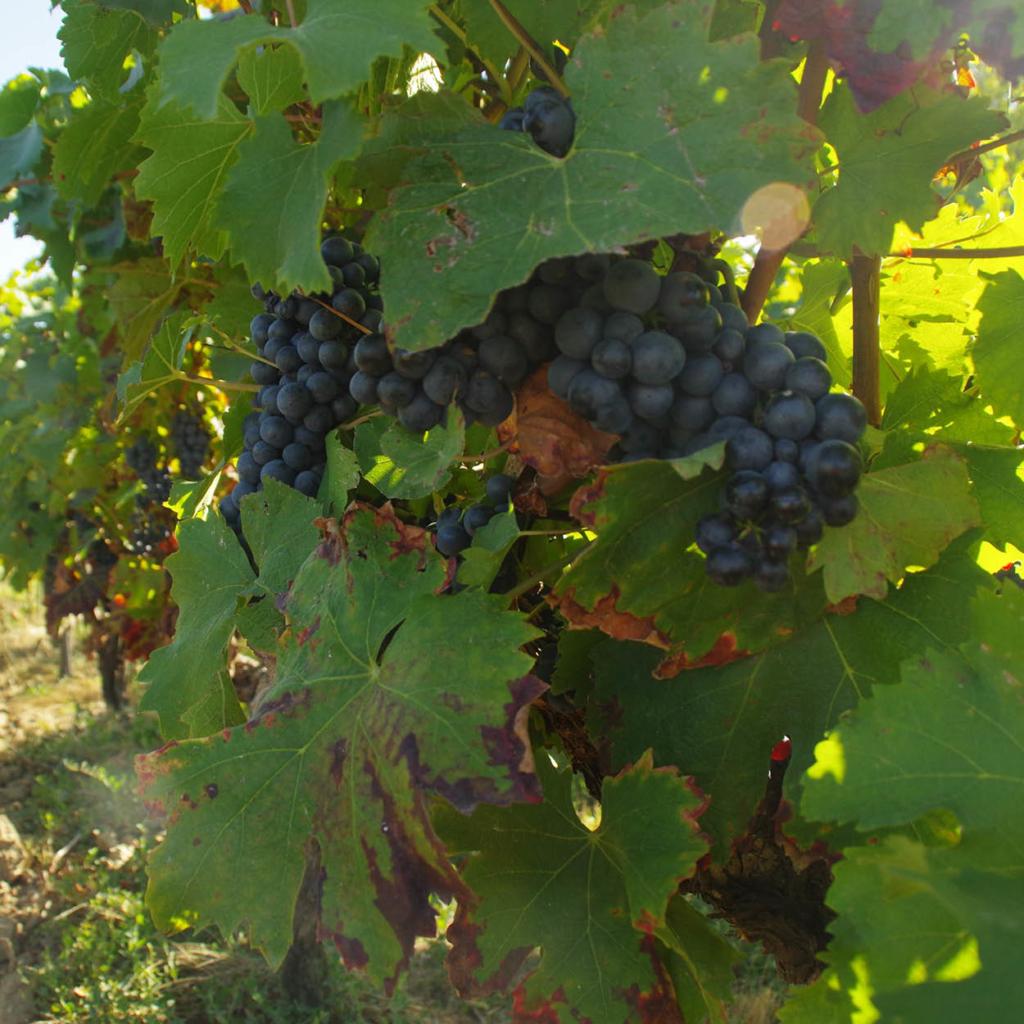 vigne raisin séjour œnologique