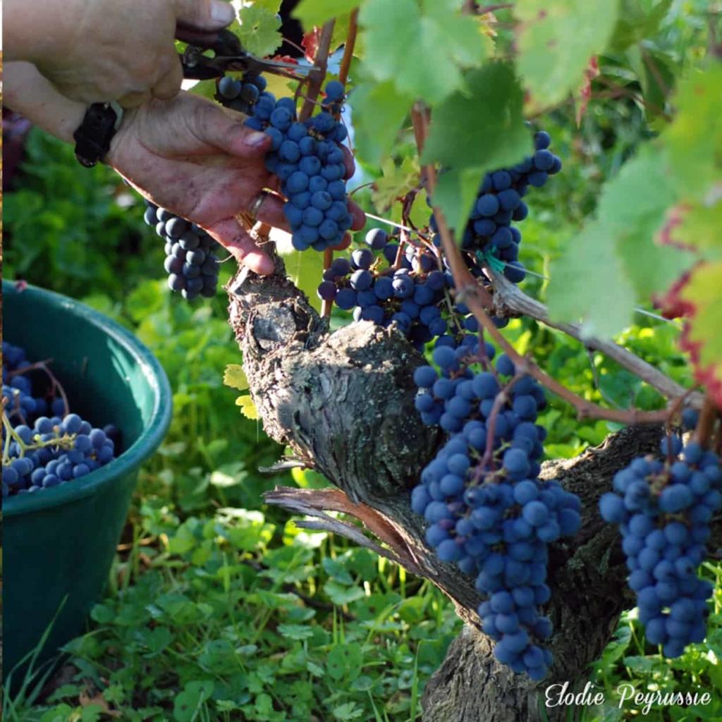 vins-chinon-domaine-viticole